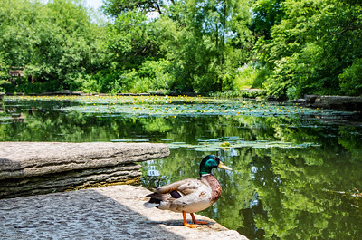 Ducks of Chicago
