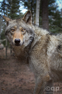 WOLF EYE CONTACT