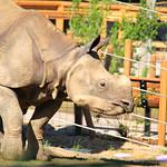 Rhino at the Denver Zoo – Denver, Colorado – Photo