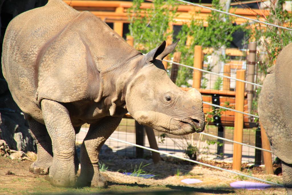 Rhino at the Denver Zoo - Denver, Colorado - Photo