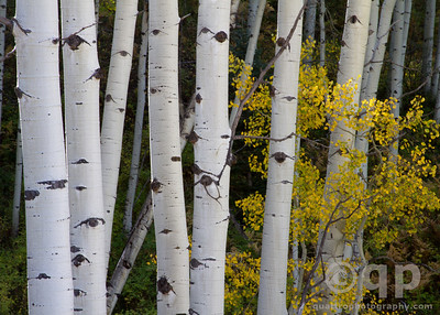 YELLOW ASPENS LEAVES IN THE TRUNKS