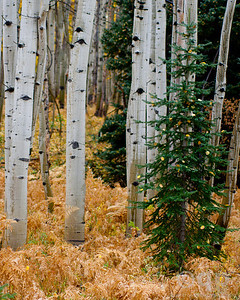 SMALL PINE IN ASPEN GROVE