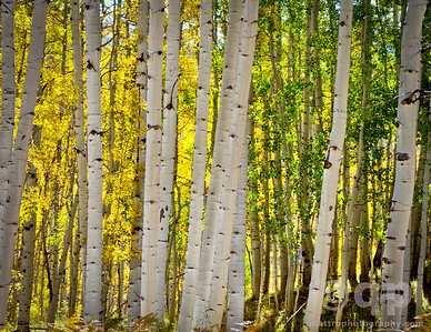 YELLOW AND GREEN ASPENS