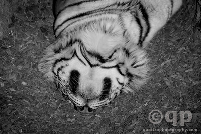 UPSIDE DOWN NAPPING TIGER BLACK AND WHITE