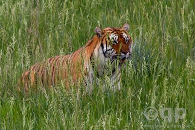 FIELD OF TIGER