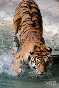 SLAPPING PAW TIGER