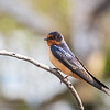 Barn swallow, Barr Lake