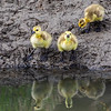 Goslings, Barr Lake