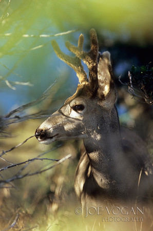 Mule Deer, Ouray, Colorado