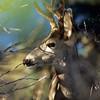 Mule Deer, Ouray, Colorado
