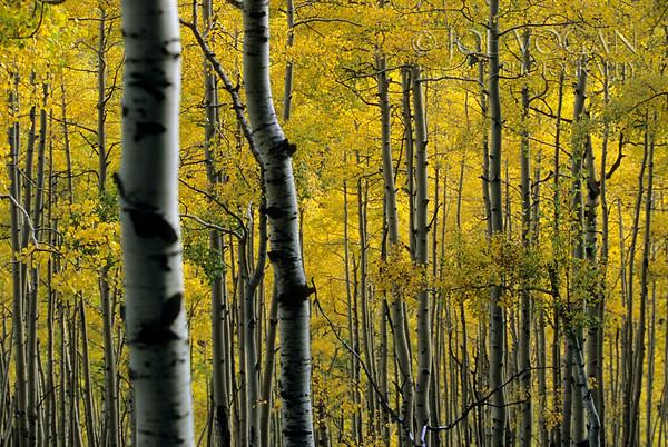 Aspen Trees in Autumn, Ohio Pass, San Juan Mountains, Colorado