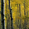 Aspen Trees in Autumn, Ohio Pass, San Juan Mountains, Colorado