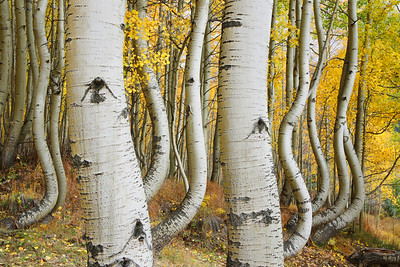 Curved Aspen Trees of Ophir, CO