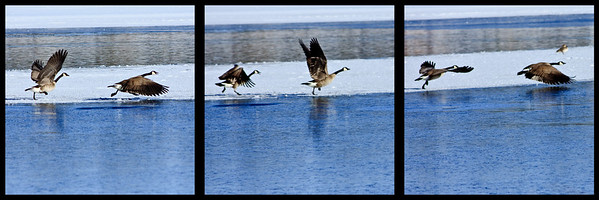 Canadian geese on takeoff, triptych