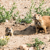 Prairie Dog, Rocky Mountain Arsenal