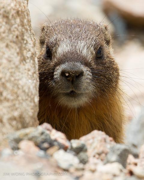Marmot, Mt. Evans