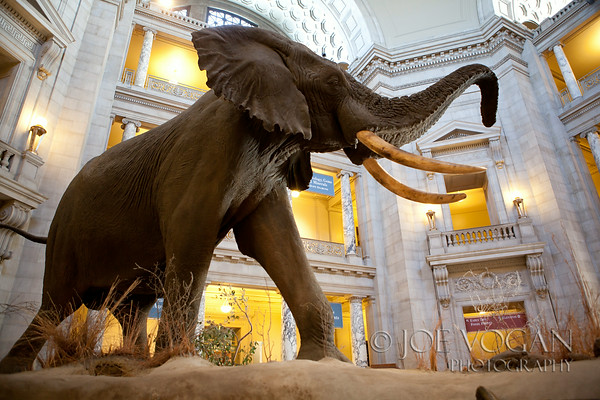 Elephant in the Rotunda, National Museum of Natural History, Smithsonian Institution, Washington, D.C.
