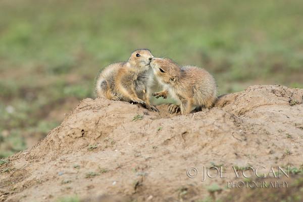 Black-tailed Prairie Dogs, Badlands National Park, South Dakota
