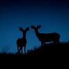 Mule Deer before dawn, Badlands National Park, South Dakota