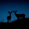 Mule Deer before dawn, Badlands National Park, South Dakota