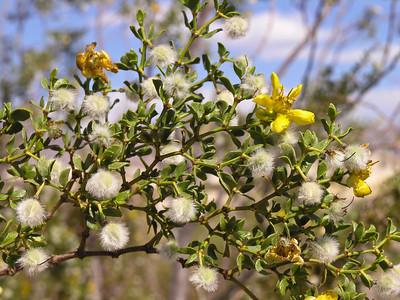 Death Valley spring flowers