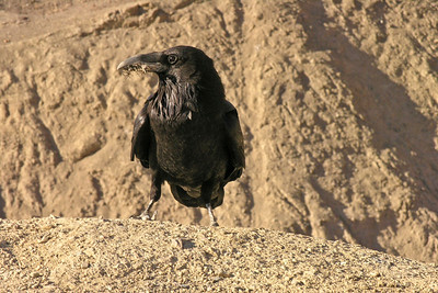 "Raven in Artist""s Palette"