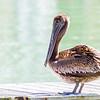 Pelican, Miami
