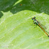 Dragonfly I, Everglades, Florida