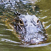 Alligator, Everglades, Florida