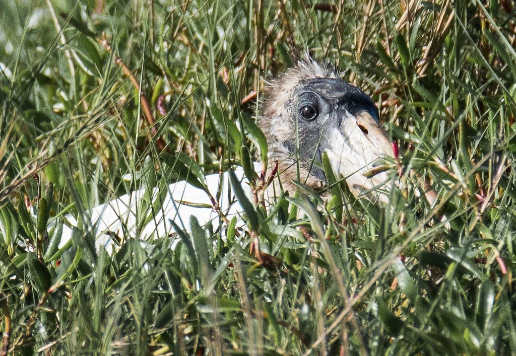 Juvenile woodstork looking a bit pathetic.