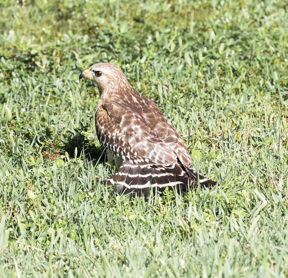 Red Shouldered Hawk with  (hidden) snake breakfast