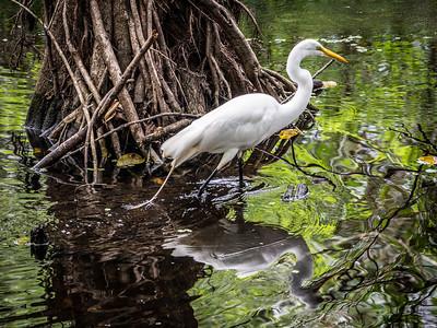 Giant Egret