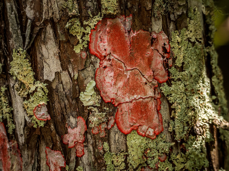 Cryptothecia rubrocincta (red) and Foliose lichen (green)