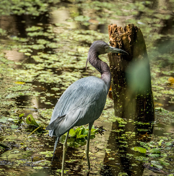 Littlel Blue Heron