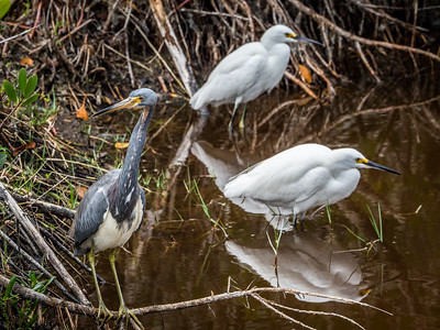 Tricolored Heron & Snowy Egrets
