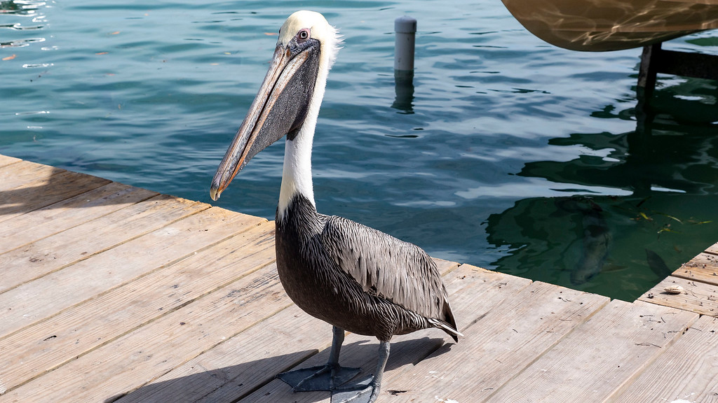 Pelican in Islamorada at Robbie's Marina - Planning a trip to the Florida Keys
