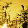 Great Blue Heron at Sunrise, Big Cypress National Preserve, Florida Everglades