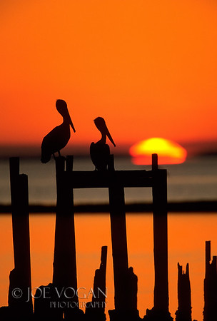 Brown Pelican, Sunset, St. Mark's National Wildlife Refuge, Florida