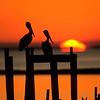 Brown Pelican, Sunset, St. Mark's National Wildlife Refuge, Florida