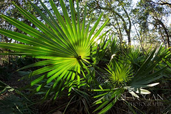 Saw Palmettos, Guana Tolomato Matanzas Reserve, Florida