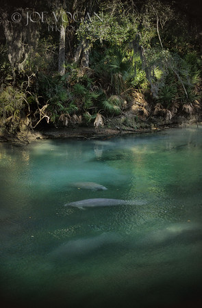 West Indian Manatees, Blue Spring State Park