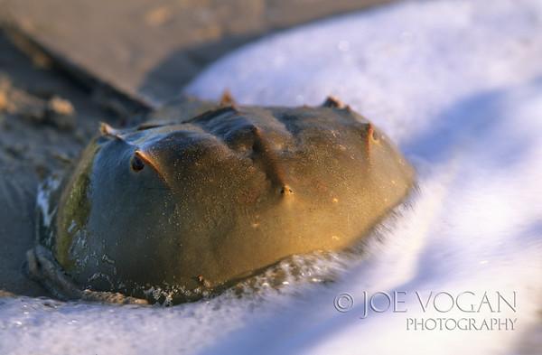Horseshoe Crab, Big Talbot Island