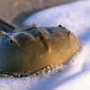 Horseshoe Crab, Big Talbot Island