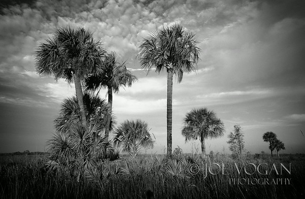 Palm Trees, Big Cypress National Preserve,  Florida Everglades