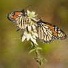 Monarch Butterflies, St. Mark's National Wildlife Refuge
