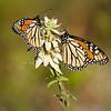 Monarch Butterflies, St. Mark's National Wildlife Refuge