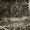 American Alligator, Fakahatchee Strand State Preserve, Florida Everglades
