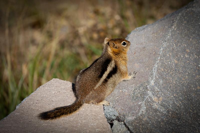 golden-mantled ground squirrel, Citellus lateralis chrysodeirus