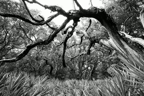 Live Oaks, Cumberland Island National Seashore, Georgia