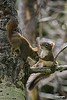 Squirrels_D7K0179